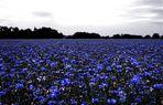 Kornblume blau .........