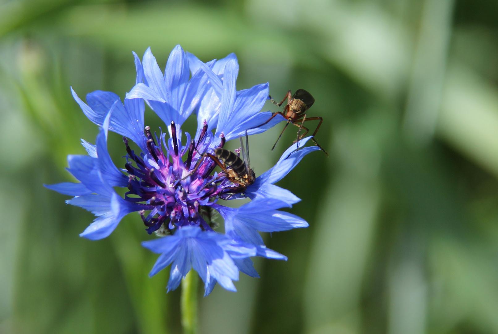 Kornblume mit Insekten
