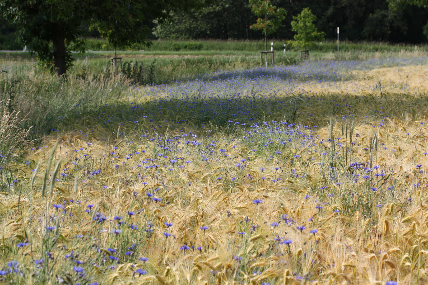 Kornblumen im Getreidefeld