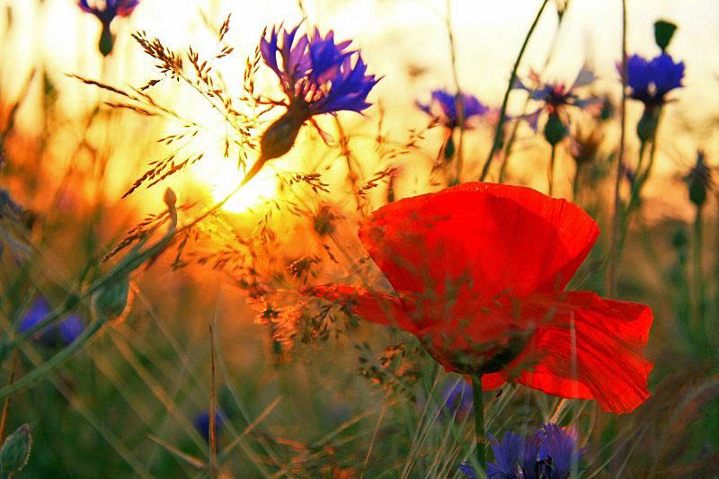 Kornblumen im Sonnenuntergang