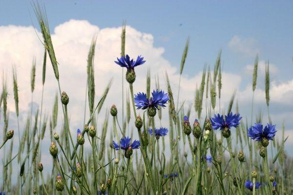 Kornblumen warten auf Gewitter