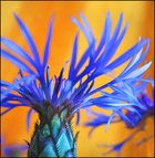 kornblumenblau
