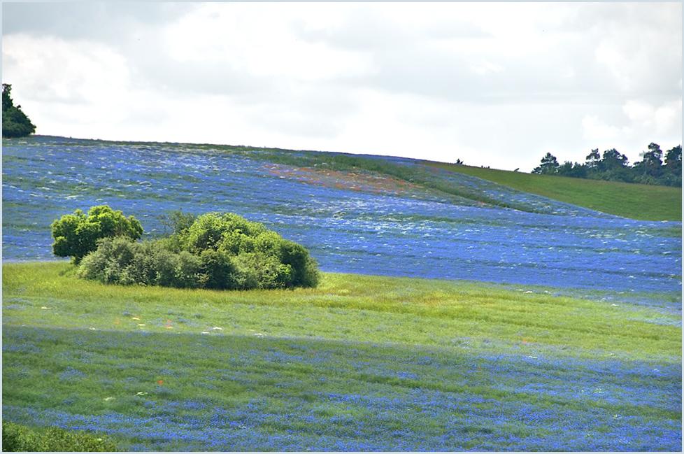 ... kornblumenblau ...