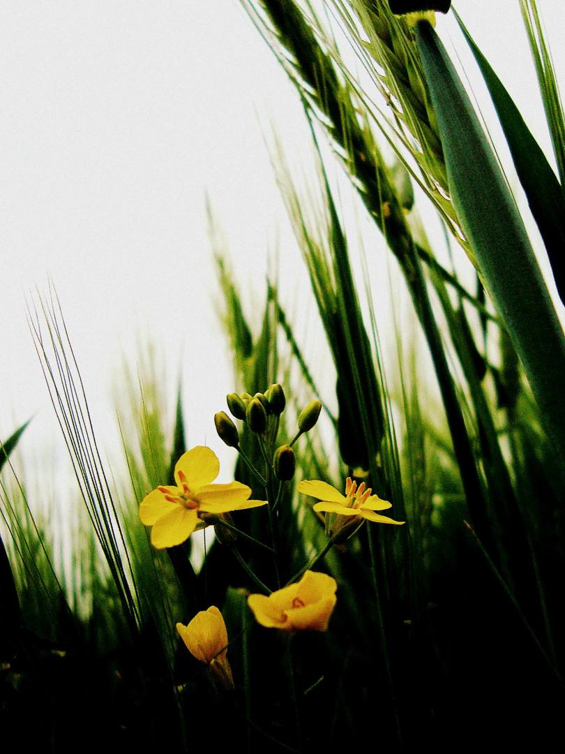 Kornfeld ganz in grün und gelb