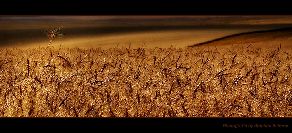 Kornfelder in Utah