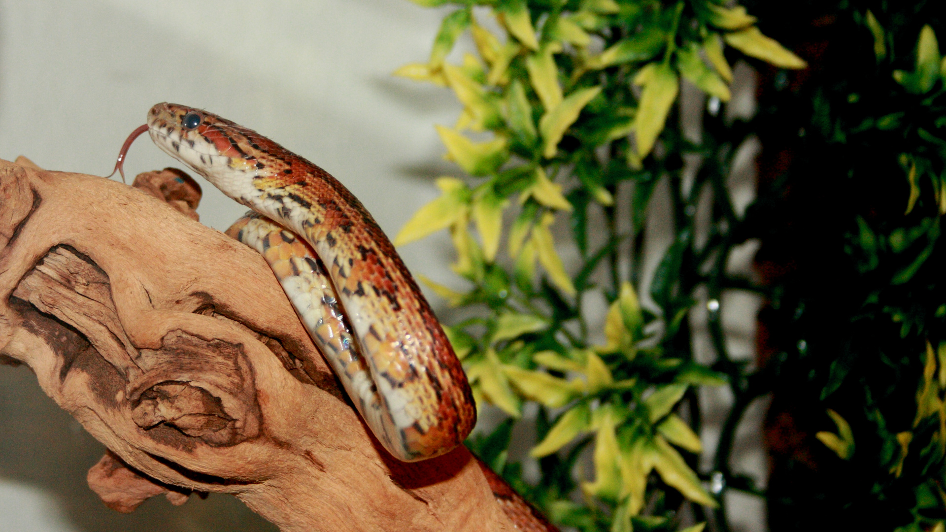 Kornnatter auf Nahrungssuche (Pantherophis guttatus)