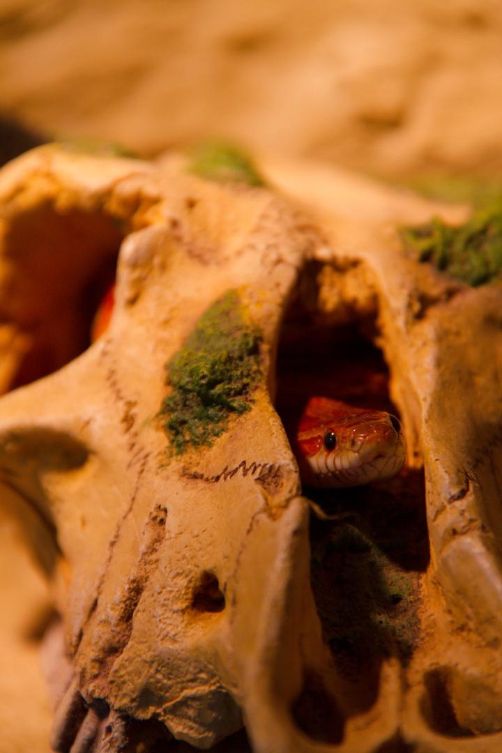 Kornnatter im Schädel