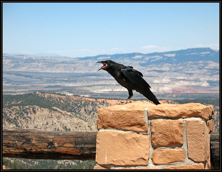 """""""kraaah!"""" - Ponderosa Raven"""