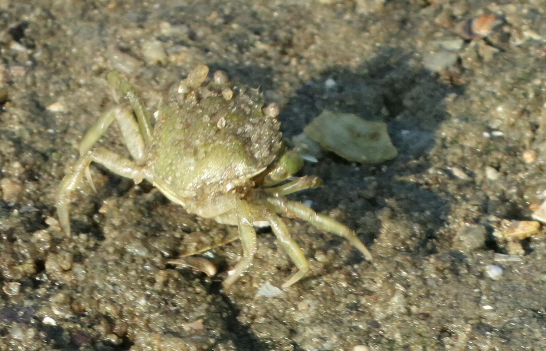 Krabbe am Strand von Wesselburenerkoog