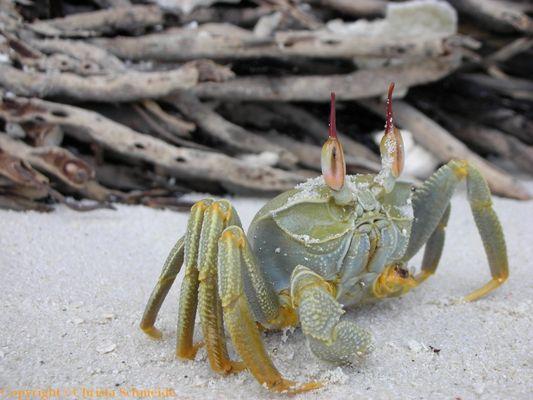 Krabbe auf den Malediven