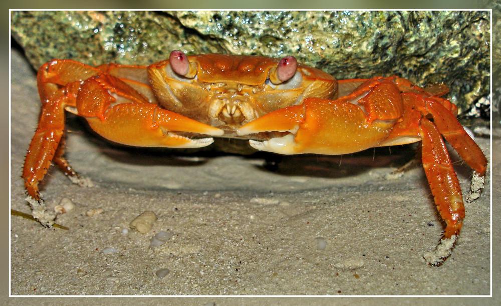 Krabbe auf Zanzibar