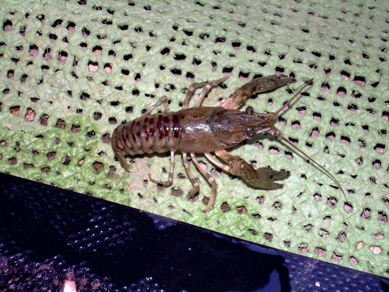 Krabbe aus dem Gardasee