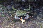 Krabbe beim Mittagessen