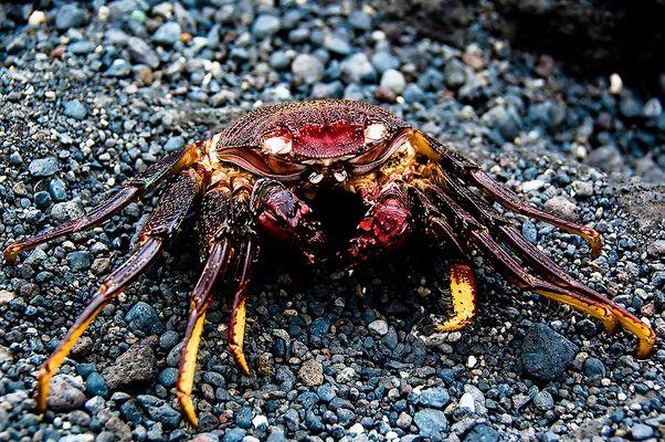 Krabbe, getrocknet