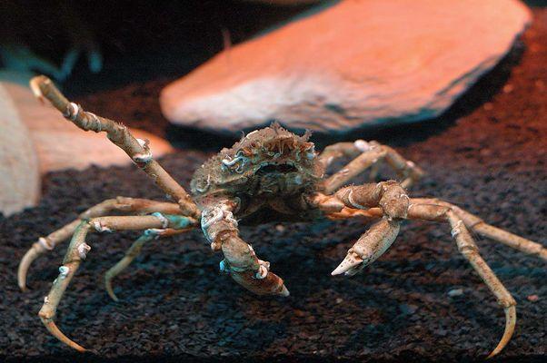 Krabbe im SeaLife Oberhausen