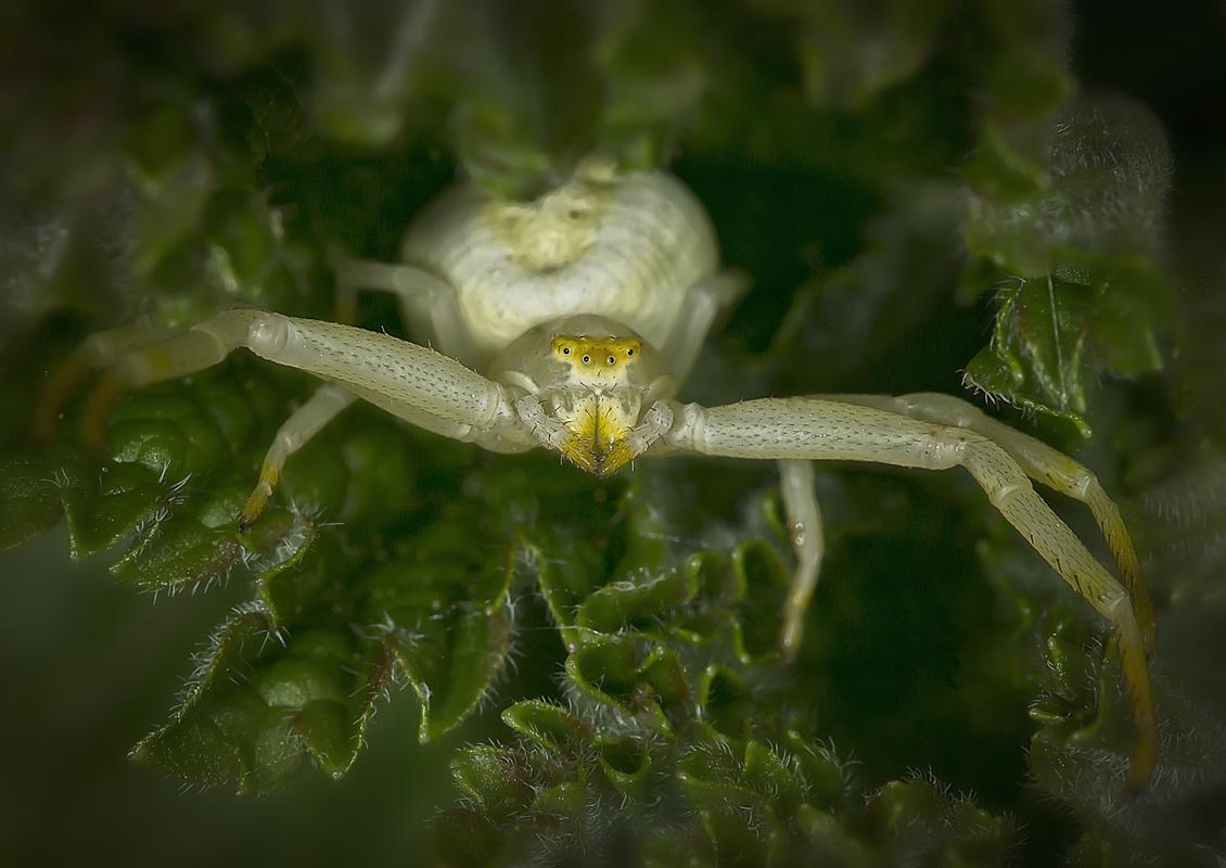 Krabbenspinne