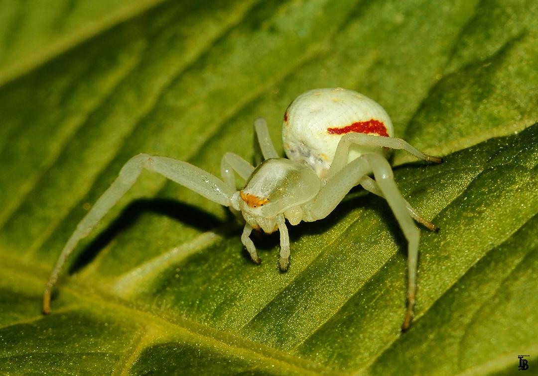 Krabbenspinne ♀