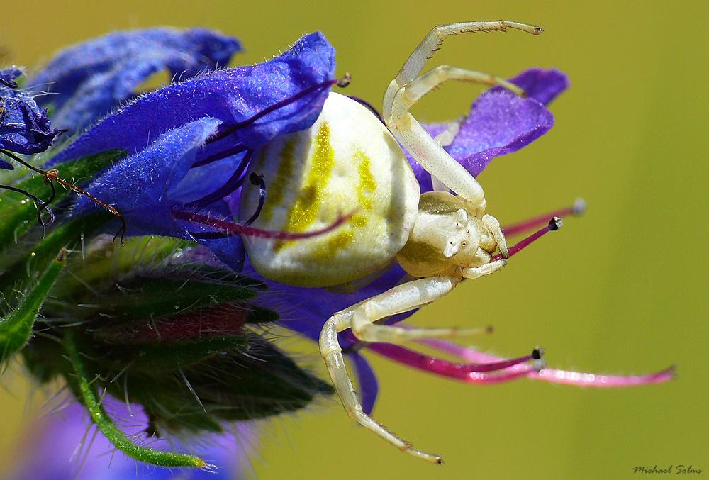 Krabbenspinne - Biester oder bunte Schönheiten (großes Tier)