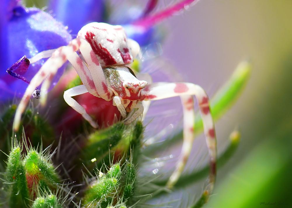 Krabbenspinne - Biester oder bunte Schönheiten (kleines Tier)