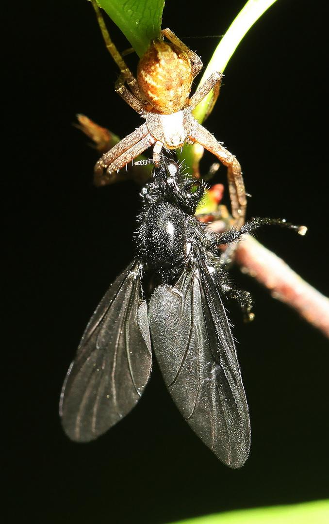 Krabbenspinne erbeutet eine weibliche, sogenannte Märzfliege oder Markusfliege