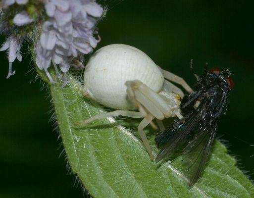 Krabbenspinne mit Fliege