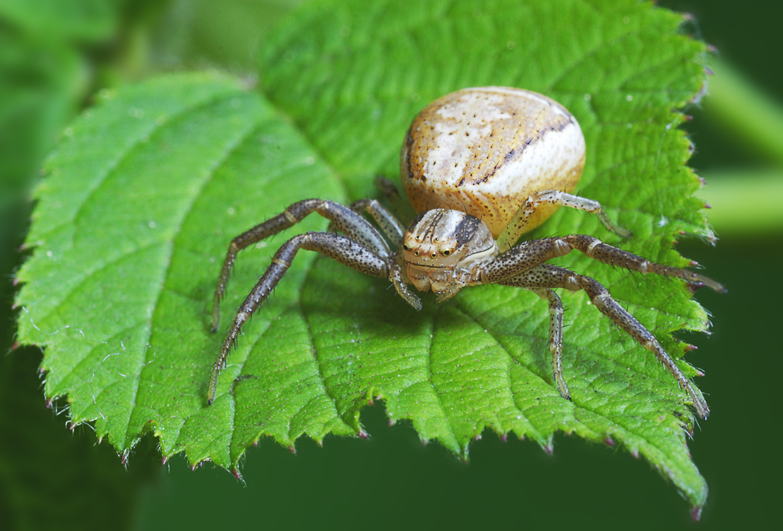 Krabbenspinne (Xysticus ulmi)