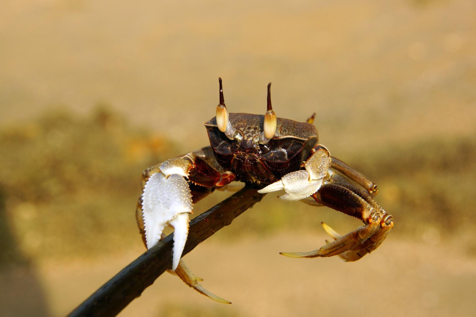 Krabi-Krabbe