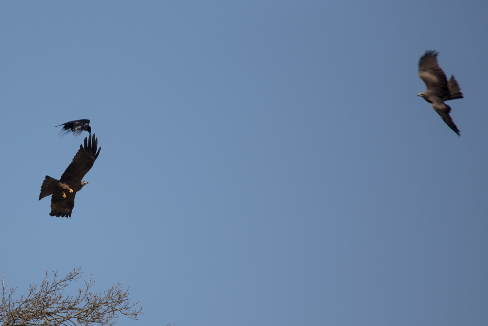 Krähe attackiert Schwarzmilan