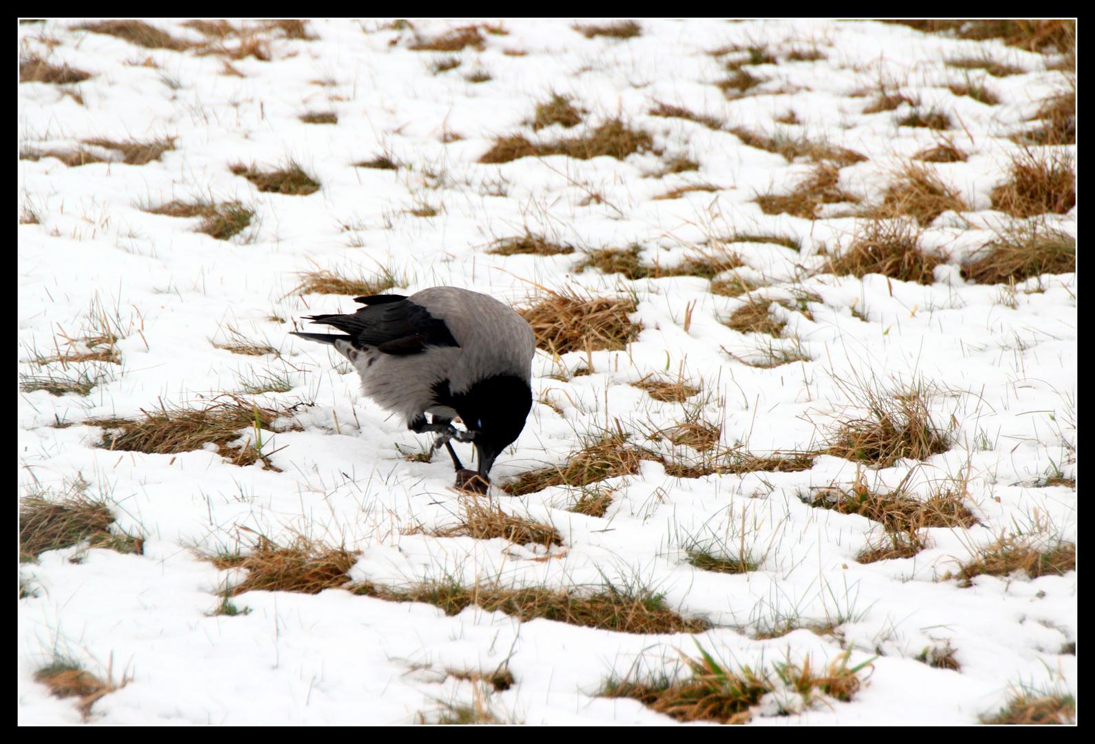 Krähe auf dem Tempelhofer Feld