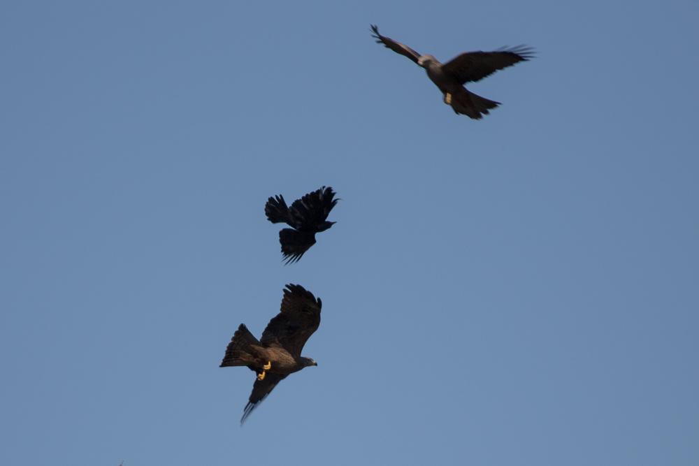 Krähe im Rückenflug