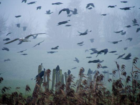 Krähen im Nebel
