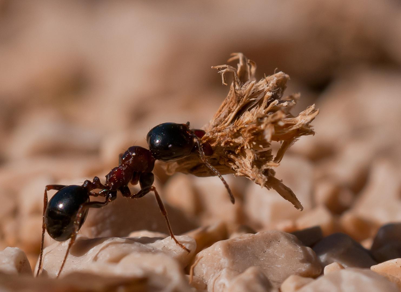 """""""Kraftakt"""" einer Ameise"""