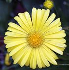 Kraftige gelbe Blüte