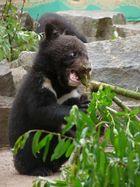 Kragenbärkinder im Tierpark Bad Pyrmont