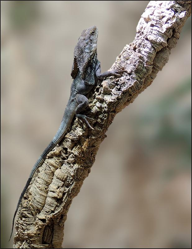 Kragenechse - Chlamydosaurus kingii