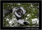 Kragenlemur (Vari varecia variegata) - Madagaskar