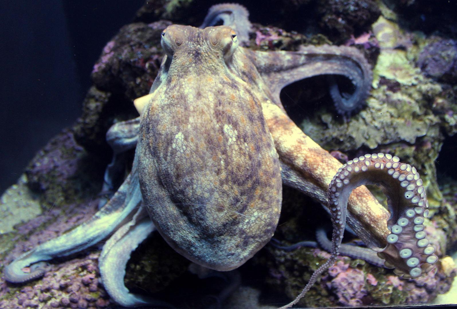 Krake im Palma-Aquarium