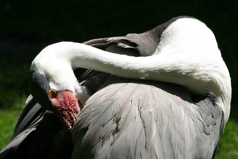 Kranich Vogelpark Walsrode