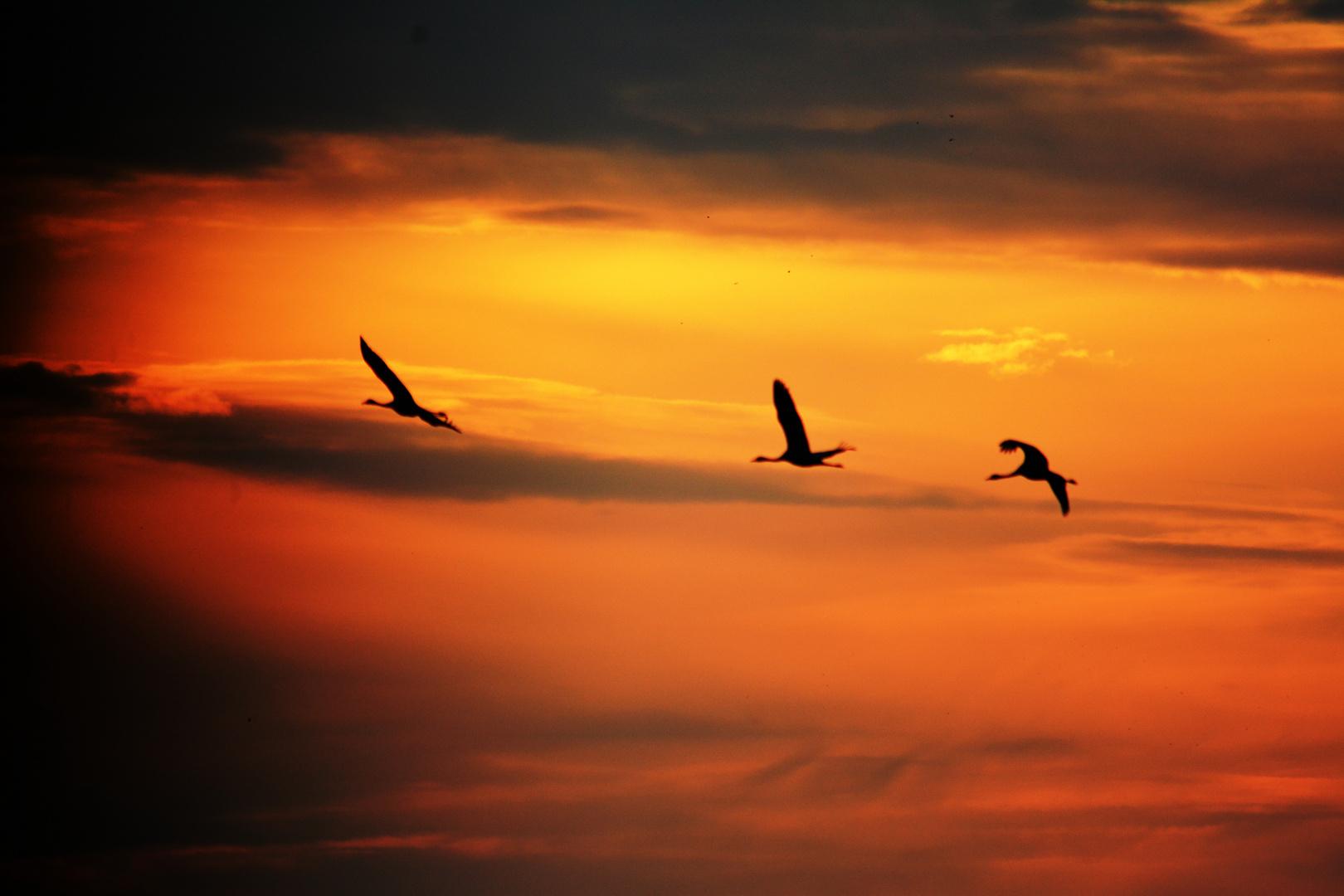 Kraniche im Sonnenaufgang