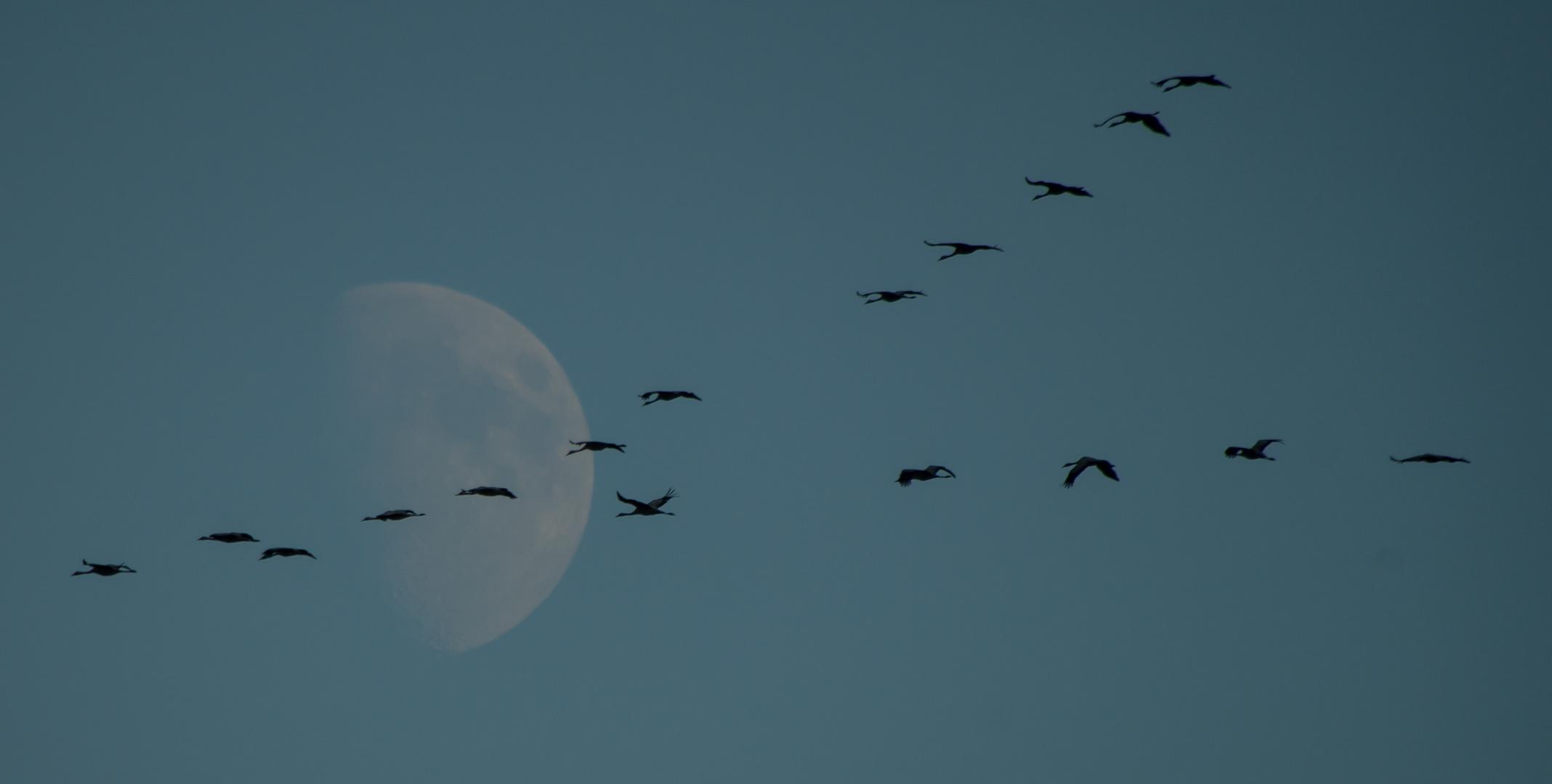 Kraniche und Mond, Linum