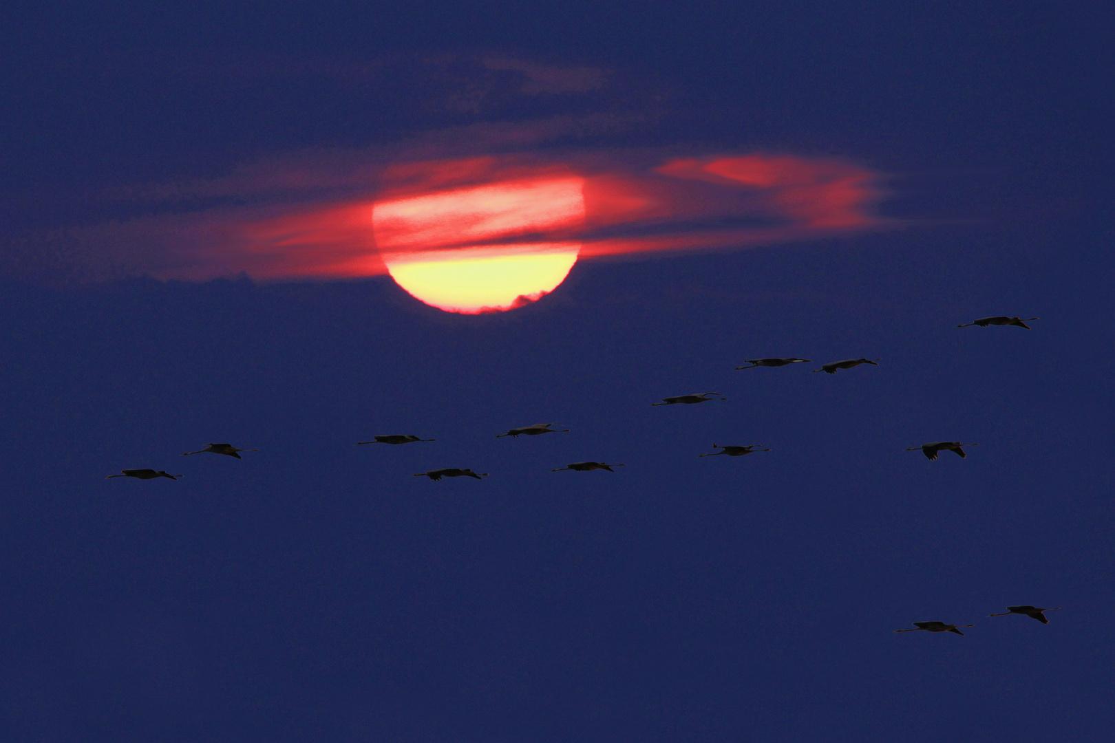Kraniche vor rot untergehender Sonne