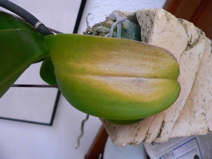 Kranke böse Orchidee 1