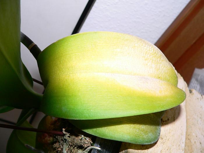Kranke böse Orchidee 2