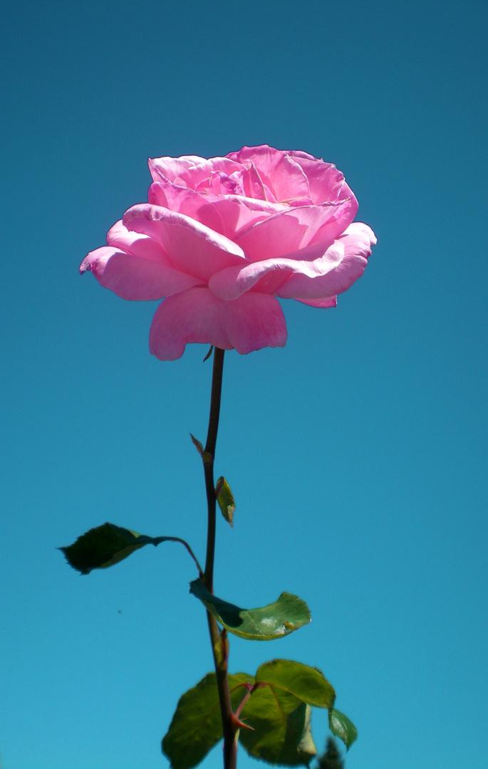 Krativ rosig