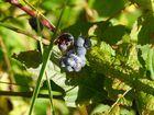 Kratzbeere (Rubus caesius)