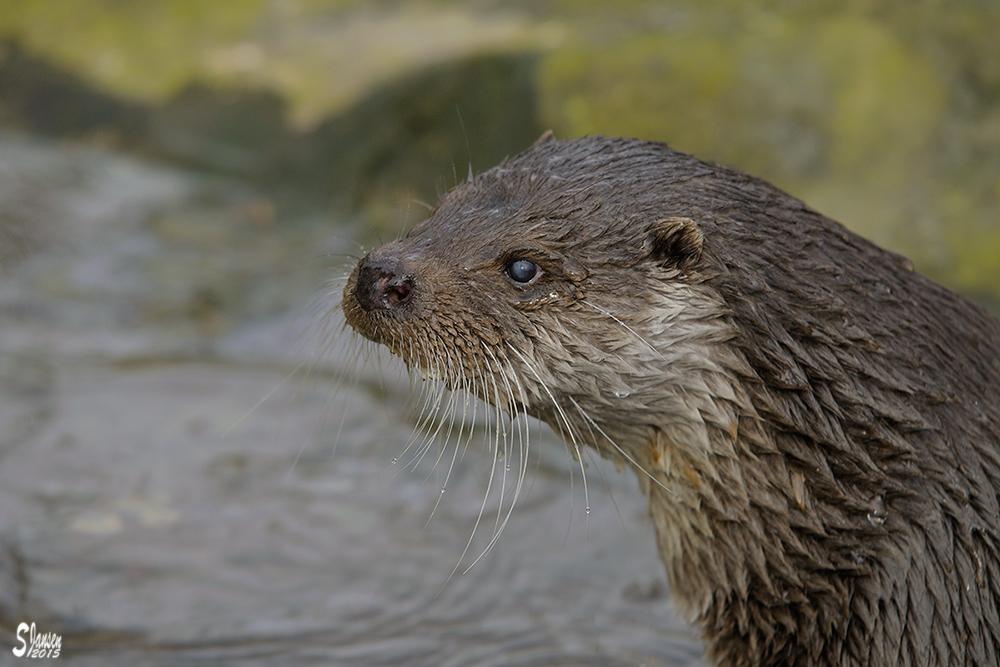 Krefelder Otter