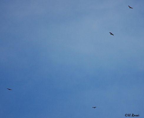 kreisende Steinadler über Kitzbühel