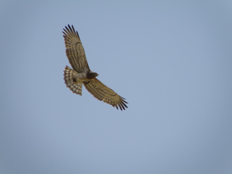 kreisender Adler