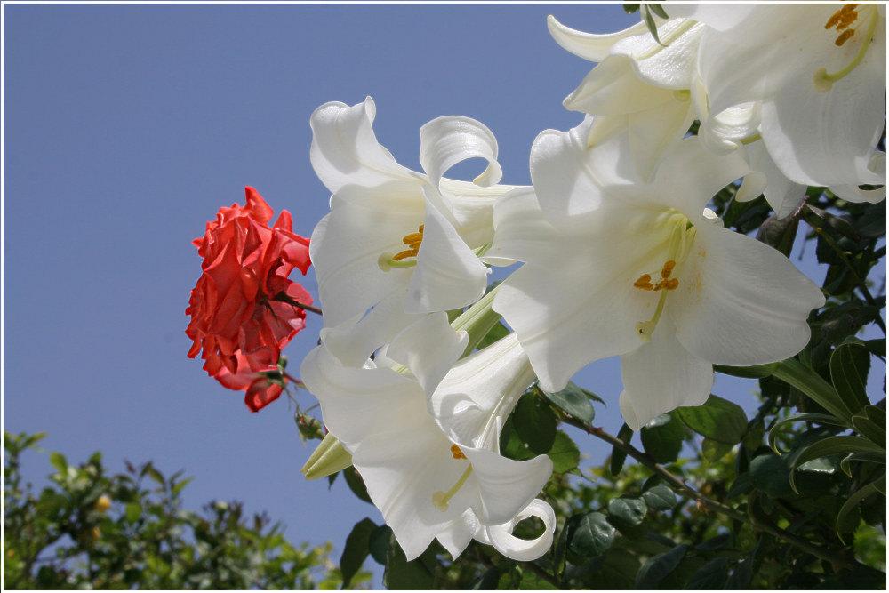 Kreta 10 - Lilien mit Rose