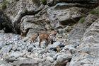 Kretische Wildziegen in der Samaria-Schlucht auf Kreta